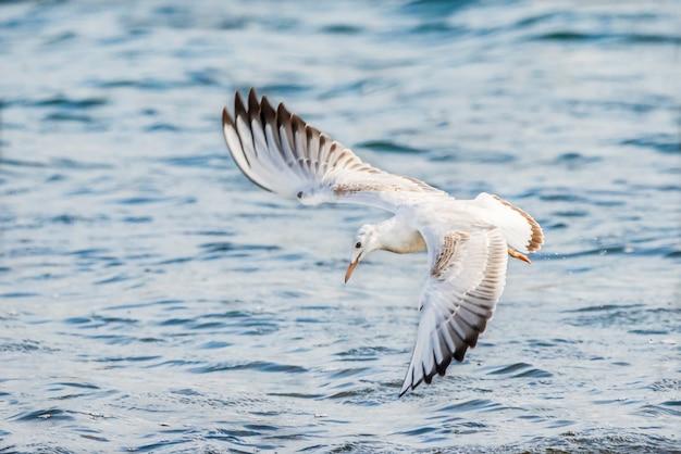 Goéland à bec élancé volant au parc naturel de l'albufera de valence