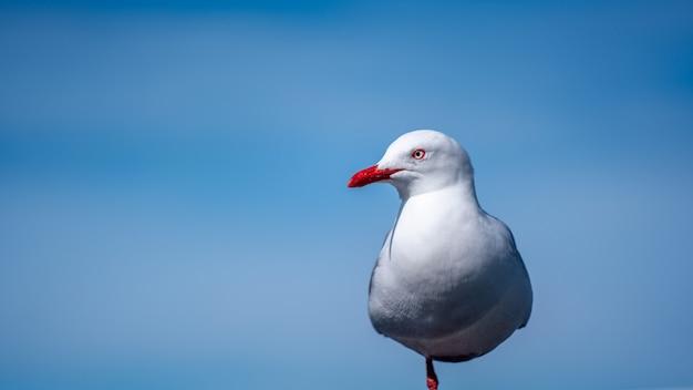 Goéland à bec rouge en nouvelle-zélande