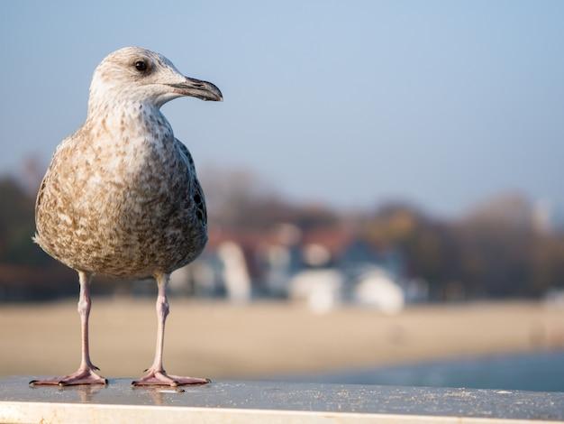 Le goéland bien nourri est assis sur une main courante et regarde la mer