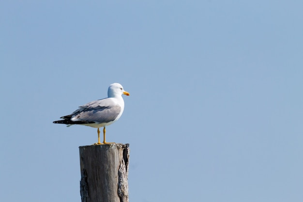 Goéland debout sur la palissade du lagon du «delta del po»