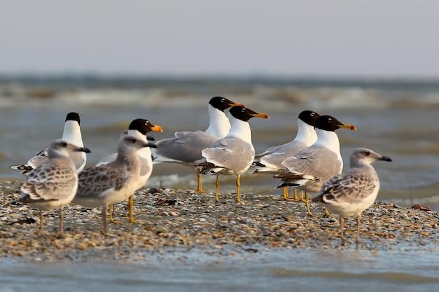 Les goélands de palla adultes et jeunes se dresse ensemble sur le rivage