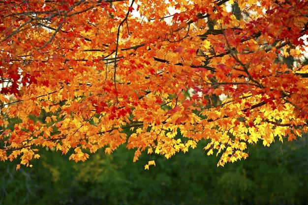 Golden golden branches
