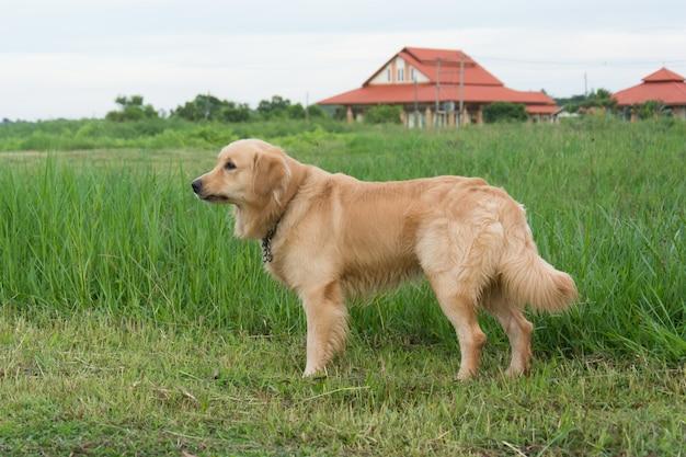 Golden labrador retriever sur l'herbe verte