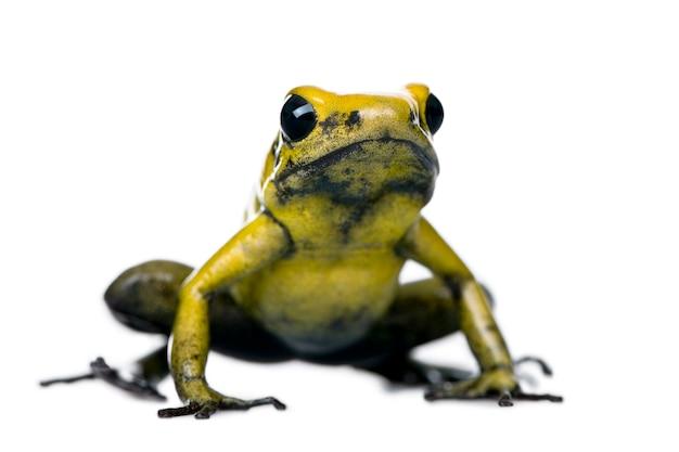Golden poison frog, phyllobates terribilis isolé