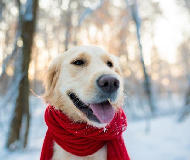 Golden retriever blanc en écharpe rouge à l'extérieur à l'heure d'hiver
