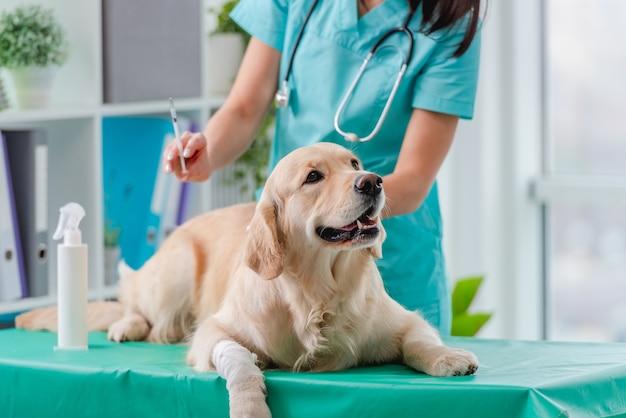 Golden retriever dog se faire une injection de vaccin lors d'un rendez-vous dans une clinique vétérinaire