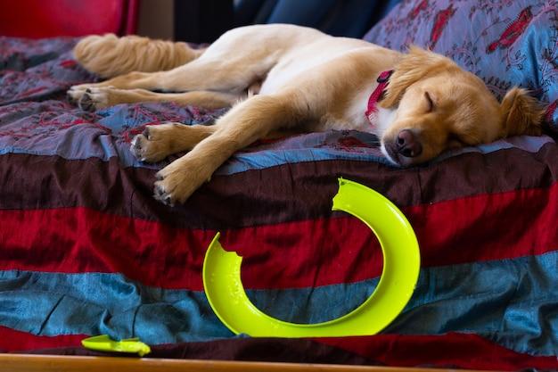 Golden retriever dormant dans son lit par anneau volant cassé animal de compagnie espiègle en difficulté concept négligent