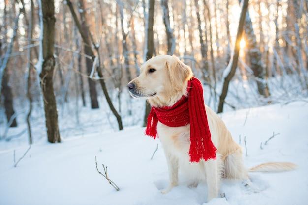 Golden retriever en écharpe rouge, à l'extérieur à l'heure d'hiver.