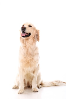 Golden retriever mignon