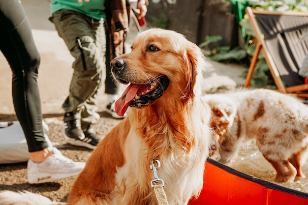 Golden retriever. portrait d'un animal de compagnie heureux au festival des animaux de la ville. journée ensoleillée d'été