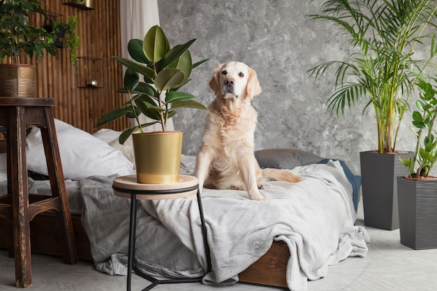Golden retriever pure race puppy dog on coat and pillows on bed in house or hotel