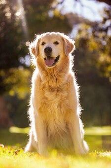 Golden retriever qui sort la langue au parc