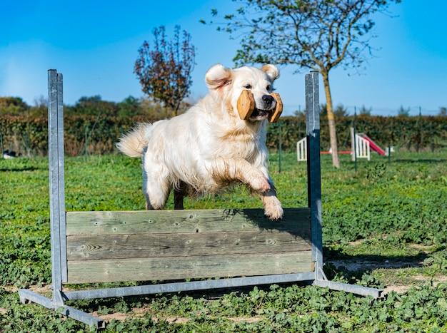 Golden retriever sautant dans une formation pour l'obéissance