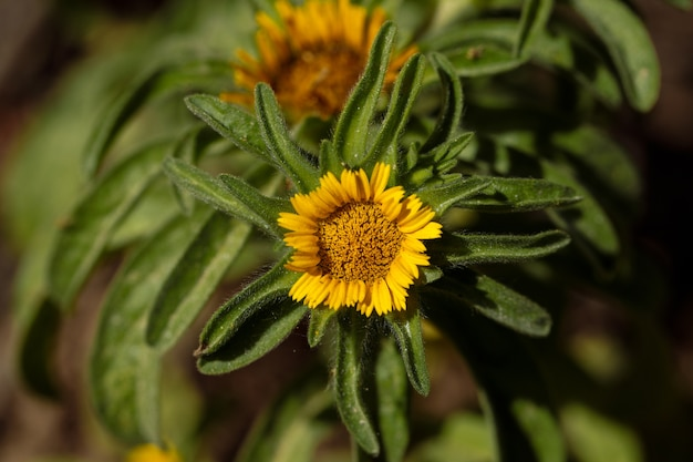 Golden star, marguerite, asteriscus aquaticus