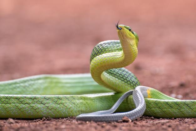 Gonyosoma oxycephalum connu sous le nom de couleuvre obscure verte à queue rousse
