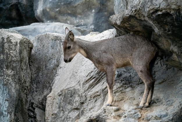 Goral debout sur le rocher