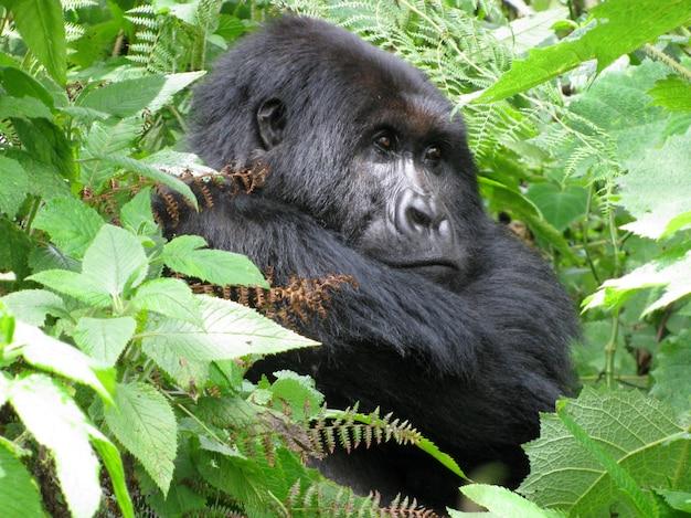 Gorille assis parmi les arbres