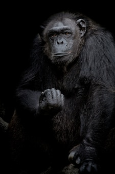Gorille bouchent portrait isolé sur noir monochrome portrait