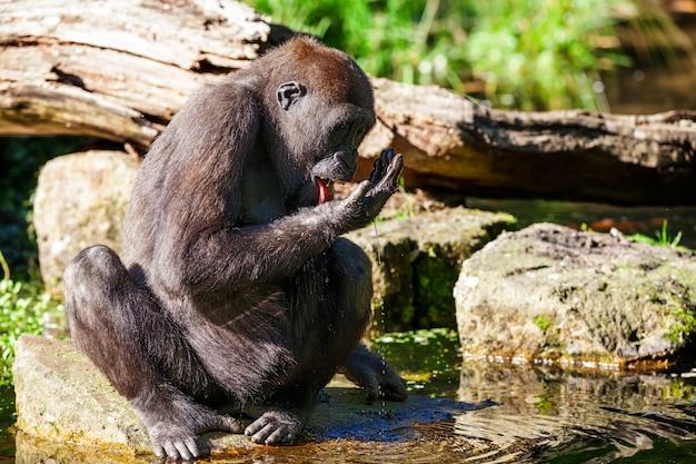 Le gorille buvant