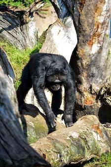 Gorille cherchant de la nourriture