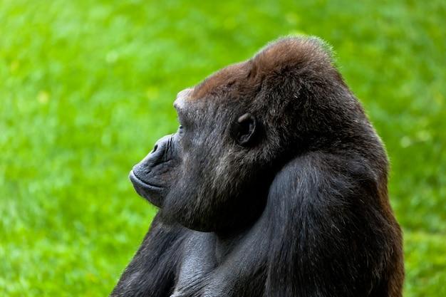 Gorille dans l'herbe