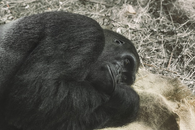 Gorille essayant de dormir