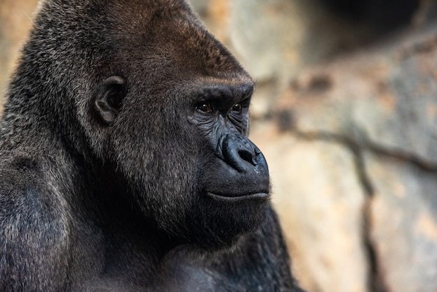 Gorille gorille gorille gorille