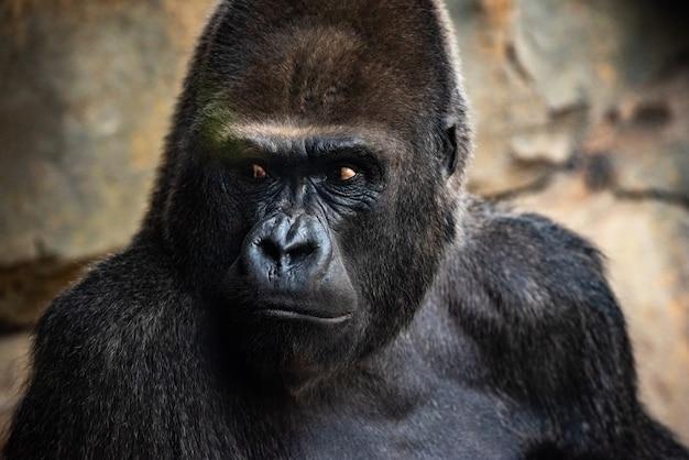 Gorille gorille mâle assis dans un zoo.