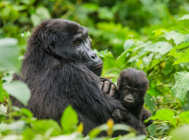 Gorille de montagne femelle avec un bébé. ouganda. parc national de la forêt impénétrable de bwindi.
