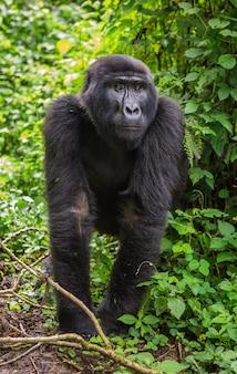 Gorille de montagne mâle dominant dans la forêt tropicale. ouganda. parc national de la forêt impénétrable de bwindi.