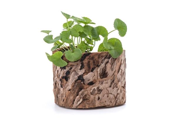 Gotu kola ou centella asiatica arbres isolés sur une surface blanche.