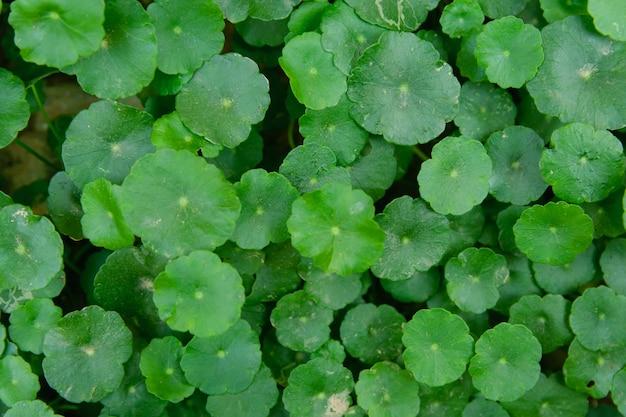 Gotu kola, centella asiatica, asiatic pennywort, indian pennywort leaf green background