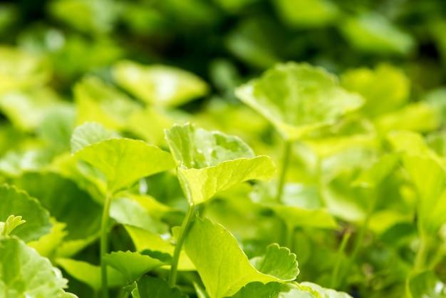 Gotu kola ou centella asiatica feuilles sur fond de nature.