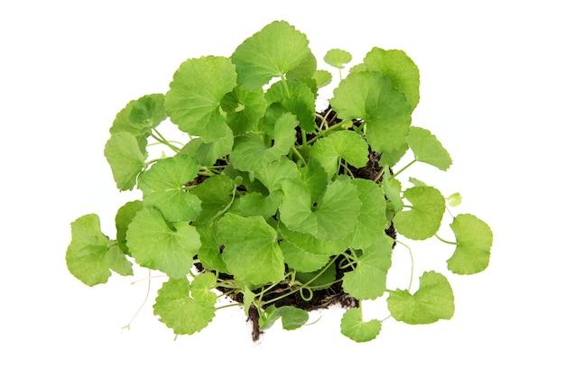 Gotu kola ou centella asiatica feuilles vertes isolées sur blanc. vue de dessus