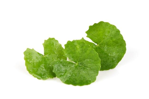 Gotu kola ou centella asiatica feuilles vertes isolées sur une surface blanche.