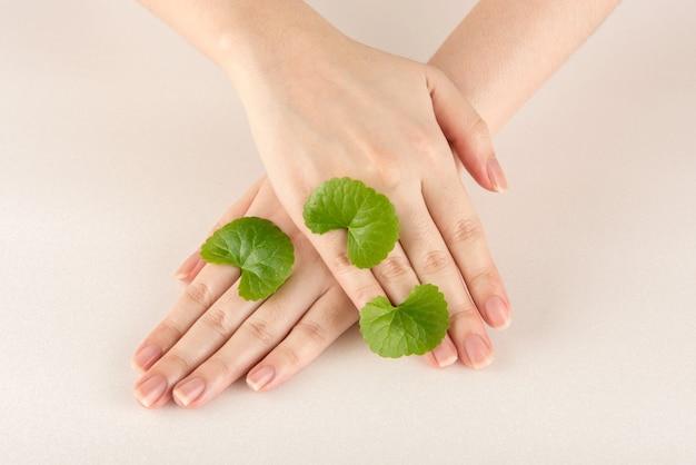 Gotu kola ou centella asiatica, feuilles vertes sur les mains et isolé sur blanc.