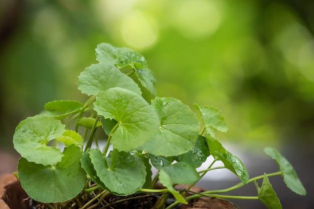 Gotu kola ou centella asiatica, feuilles vertes.
