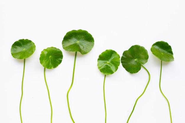 Gotu kola feuilles