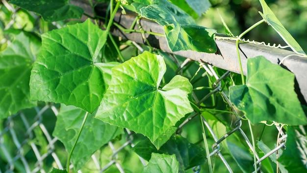 Gourde de lierre plante sur une clôture.