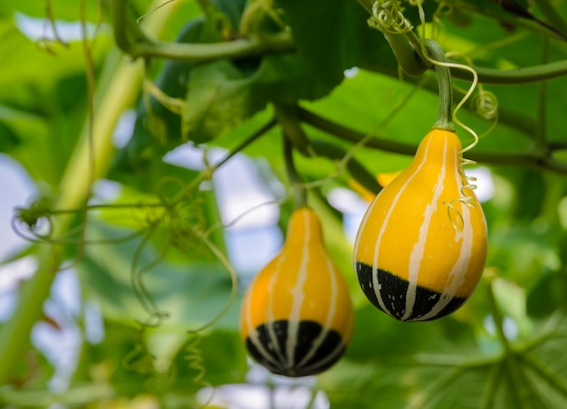 Gourde ornementale ou citrouille sur son arbre