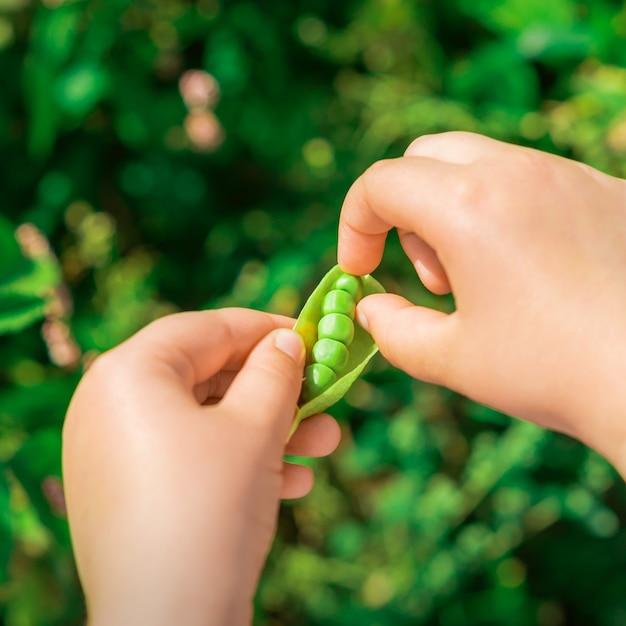 Gousses fraîches de pois verts dans les mains de l'enfant