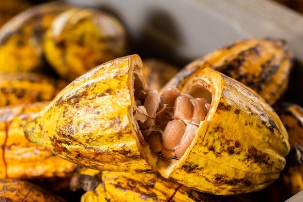Gousses de fruits de cacao biologiques dans la nature.