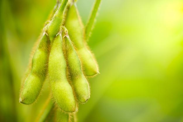 Gousses de soja sur l'arbre et la lumière du soleil du matin.
