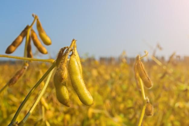 Gousses de soja génétiquement modifié pendant la période de maturation au champ