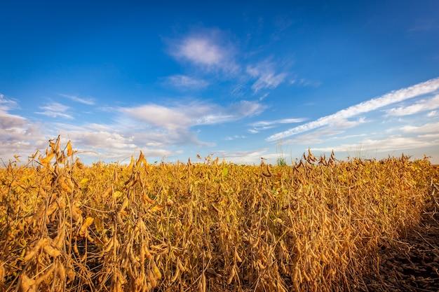Gousses de soja sur la plantation au coucher du soleil
