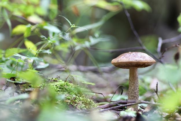 Goutte d'eau aux champignons cèpes