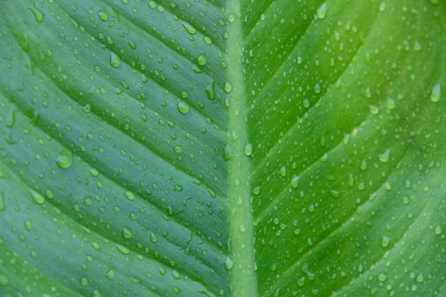Goutte d'eau sur la feuille de bananier tropical vert nature, rosée sur la feuille de bananier
