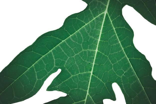Goutte de pluie sur le motif d'exposition de feuille de papaye avec le bord de l'ombre, sélectionnez la mise au point, isolez le fond blanc