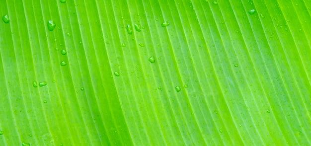 Goutte de rosée sur les feuilles de bananier, texture de la feuille pour le fond