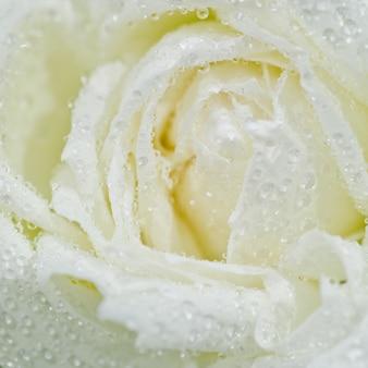 Gouttelette sur fleur rose blanche